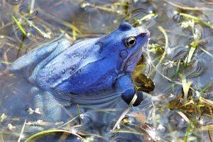 Moorfrosch, die Männchen der Moorfrösche verfärben sich im April himmelblau und versammeln sich in flachen Moortümpeln, um mit ihren glucksenden Rufen die Weibchen anzulocken